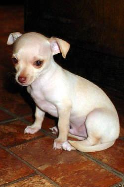 Adorable Chihuahua BabyGirl