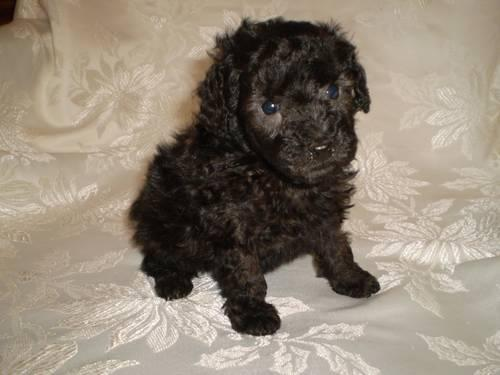 Teacup Poodle Puppy - Sable Male - Barely a pound at almost 6 weeks