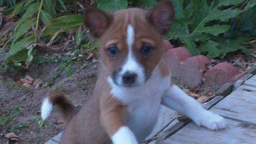 Akc Male Basenji Puppies For Sale In Houston Texas Classified