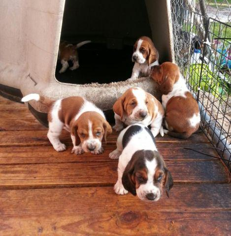Absolutely Adorbale AKC Bassett Hound puppies