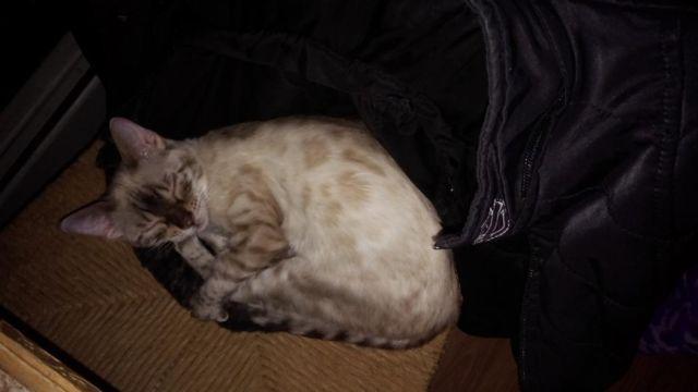 snow female bengal kitten