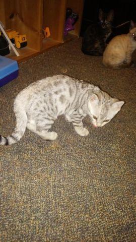 Stunning silver bengal kitten