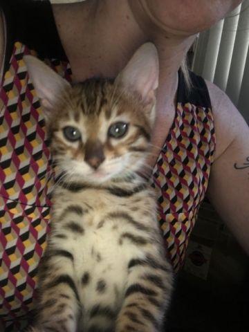 Beautiful, Purebred Bengal Kittens