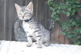 Tica Registered Female Bengal Kittens