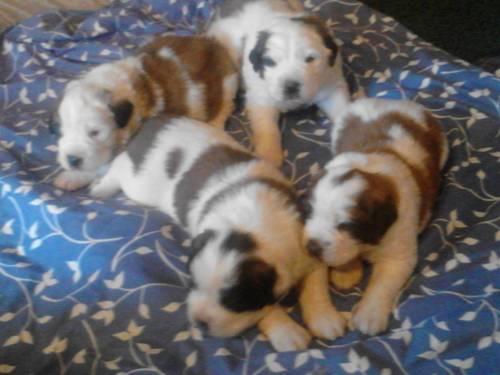 BIG beautiful Saint Bernard pups