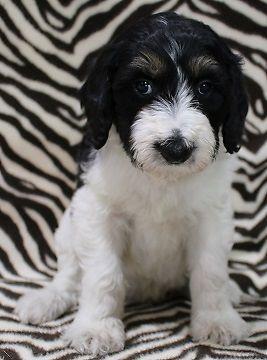Mini Bernedoodles For Sale In Montrose Colorado Classified