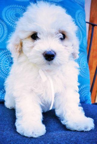 Bichon Frise and Poodle Mix - **Bichoodles**- White and Red