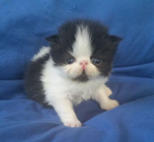 Precious Black and White BiColor Persians Available