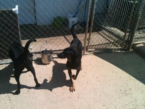 Labrador Retriever - Mary Beth And Bindi! - Medium - Young