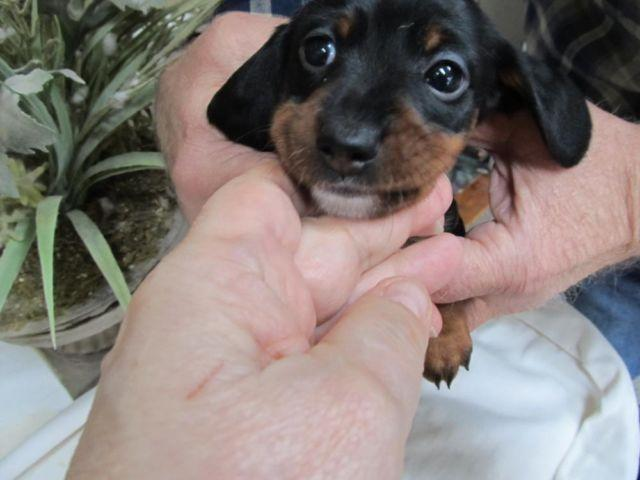 Cute Mini Dachshund, 8 weeks old Black and Tan Smooth Coat