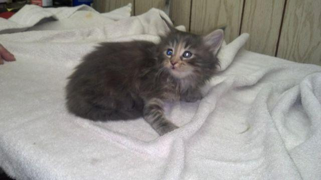 Maine Coon Kitten Male Black and White for Sale in