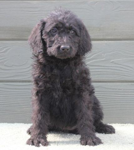 Daisy - cute all black female labradoodle puppy