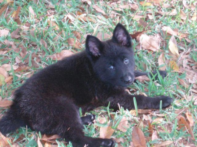 AKC German Sherpherd Black Female Puppy