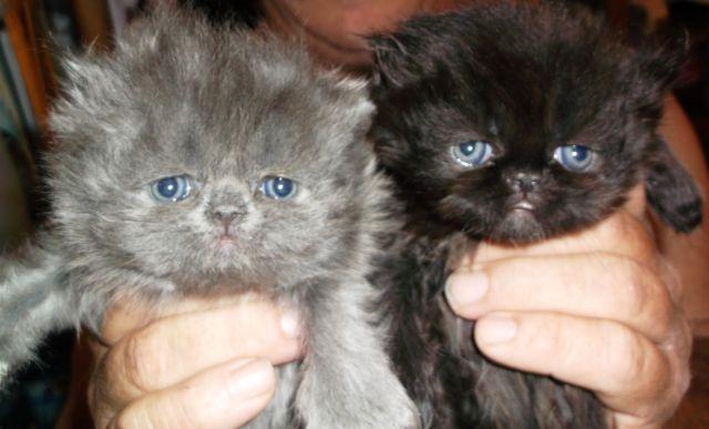 PERSIAN CFA BLUE & BLACK kittens.