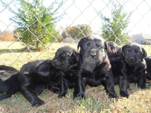 AKC Labrador Retriever Black Puppies