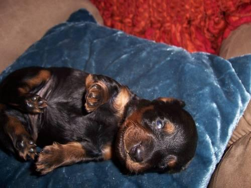 mini Dachshund male blk and tan