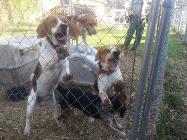 Beagle males Hunting Dogs bloodline 1 year
