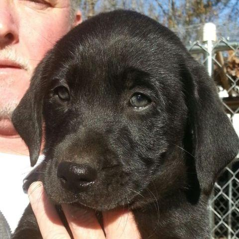 AKC National Champion Bloodline Labrador Retrievers