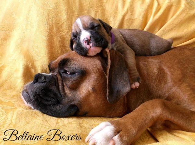 Beethoven: AKC Boxer, Male, CH bloodlines ~ 2 weeks old