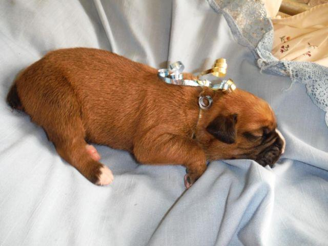 Braveheart: AKC Boxer, Male, CH bloodlines ~ 2 weeks old