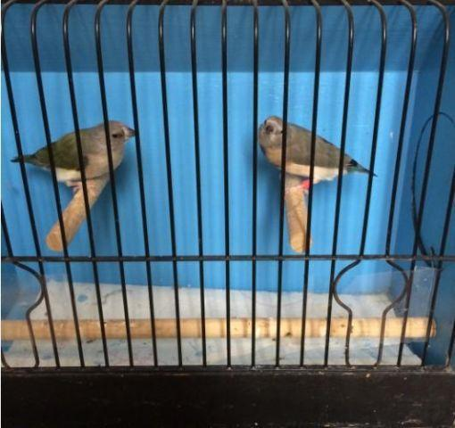 Gouldian Finch Finches - Silver Blue and Split To Blue