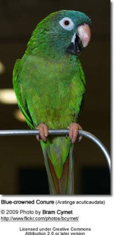 parrotlet breeding pair blue and whit