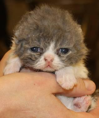 Selkirk Rex curly coated kitten, blue and white male