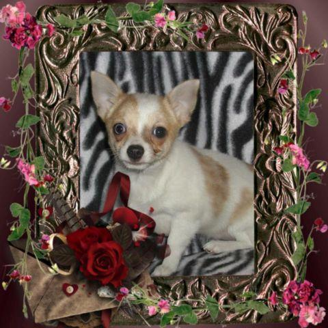 Merle Spotted male Chihuahua pup one blue eye , ready now