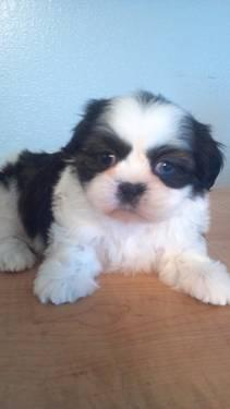 Shih Tzu Puppies Blue Eyes For Sale In Springfield Missouri