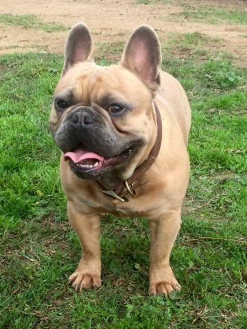 AKC French Bulldog Blue Fawn Male