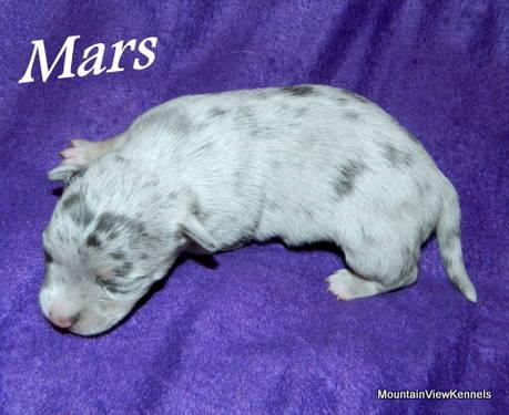 Flashy Reg. Blue Merle Chihuahua Puppy in Talihina, Oklahoma For Sale