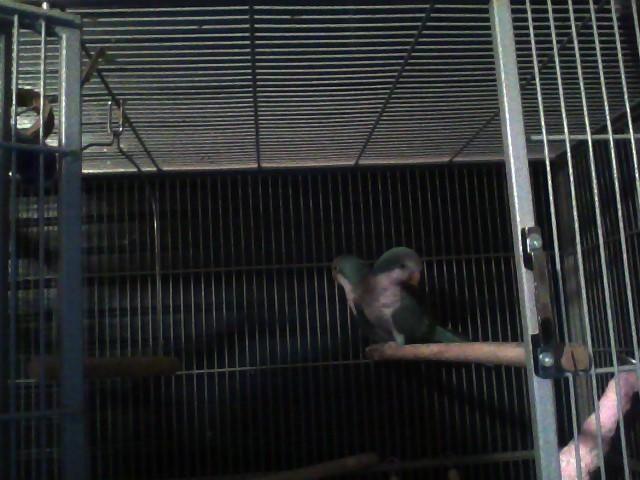 one breeding pair of blue Quaker parrots
