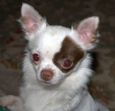 AKC Chihuahua (Boo Bear)