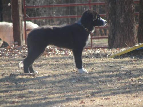 AKC Male Border Collie