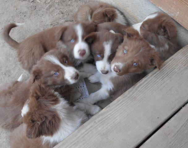 Red & White Border Collie Puppies