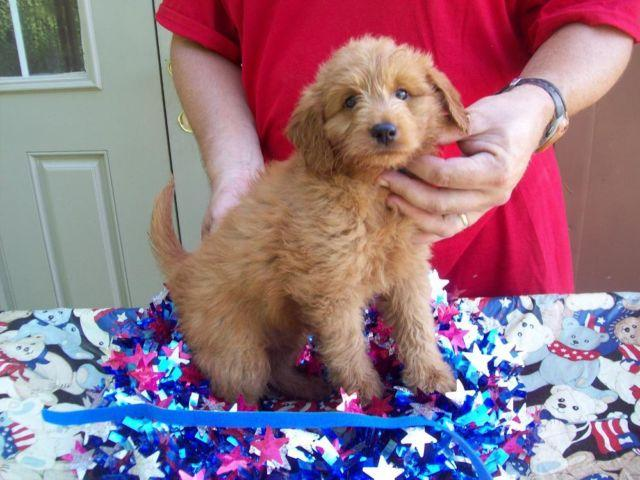 Beautiful F1 GOLDENDOODLES BORN AUG 9TH