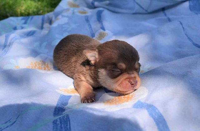 Smooth Coat Chihuahua Puppies ~ Born June 8th