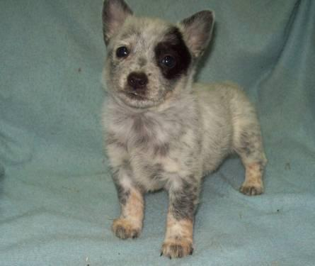 miniature Queensland heeler males born nov 29th 2012