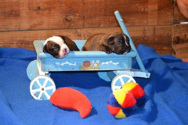 Frenchton puppies french bulldog / boston terrier for Sale in