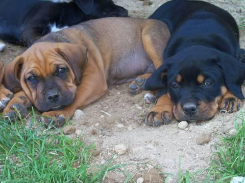 Large Breed Puppies (Boxer,Lab,Rottweiler and Mastiff) for