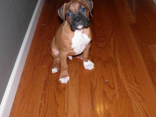 Quality Akc Boxer Puppies For Sale In Colton Oregon Classified