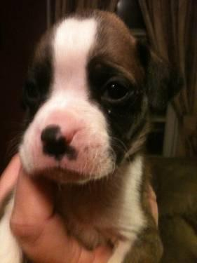 Cute CKC Boxer Puppies