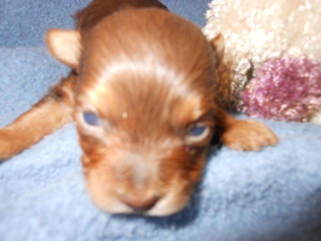 Tiny AKC Chocolate boy- Chip