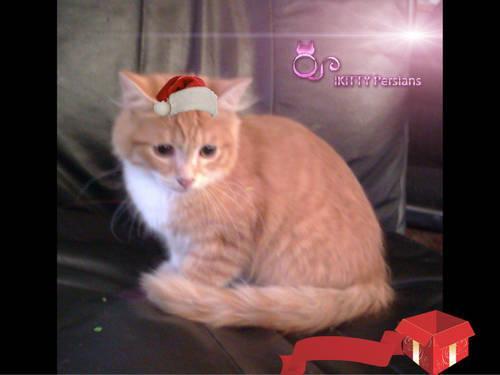 Turkish Angora Kitten Boy (palmdale)