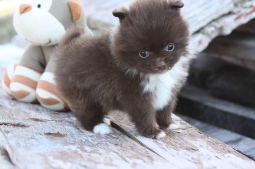 AKC Pomeranian boy