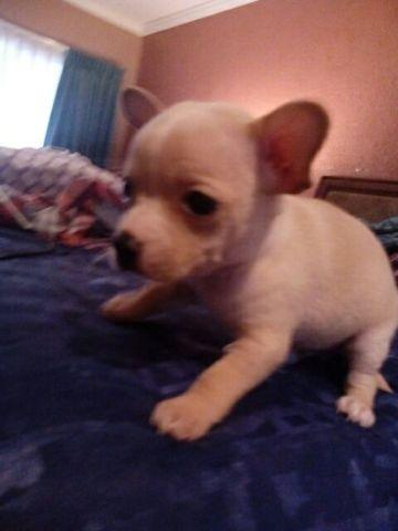 The cutest Pure bred Chihuahua puppies