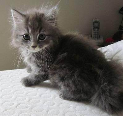 Adorable MAINE COON x kittens (large breed) Blue or Tabby colors $30