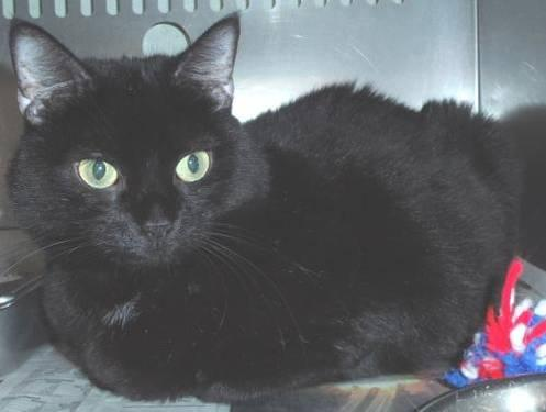 Domestic Short Hair - Black - Bridgette - Medium - Adult