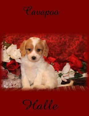 Cavachon And Cavapoo Puppies Brimfield Ohio www cavachons