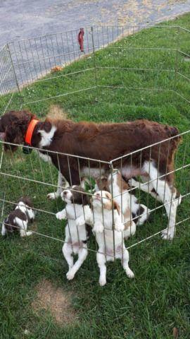 Pure breed Brittany puppies